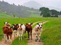 Curious calves, Rakopi, Golden Bay NZ
