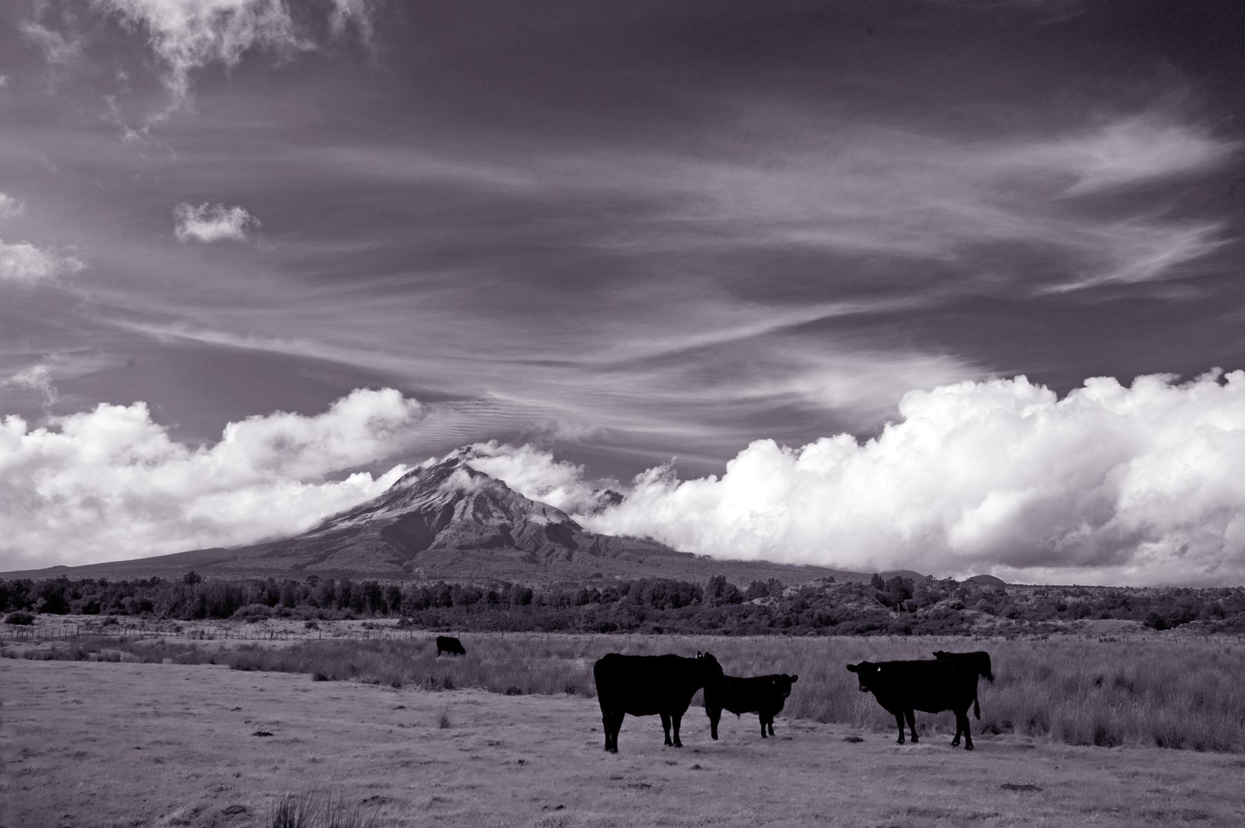 2016 Calendar: Taranaki cattle