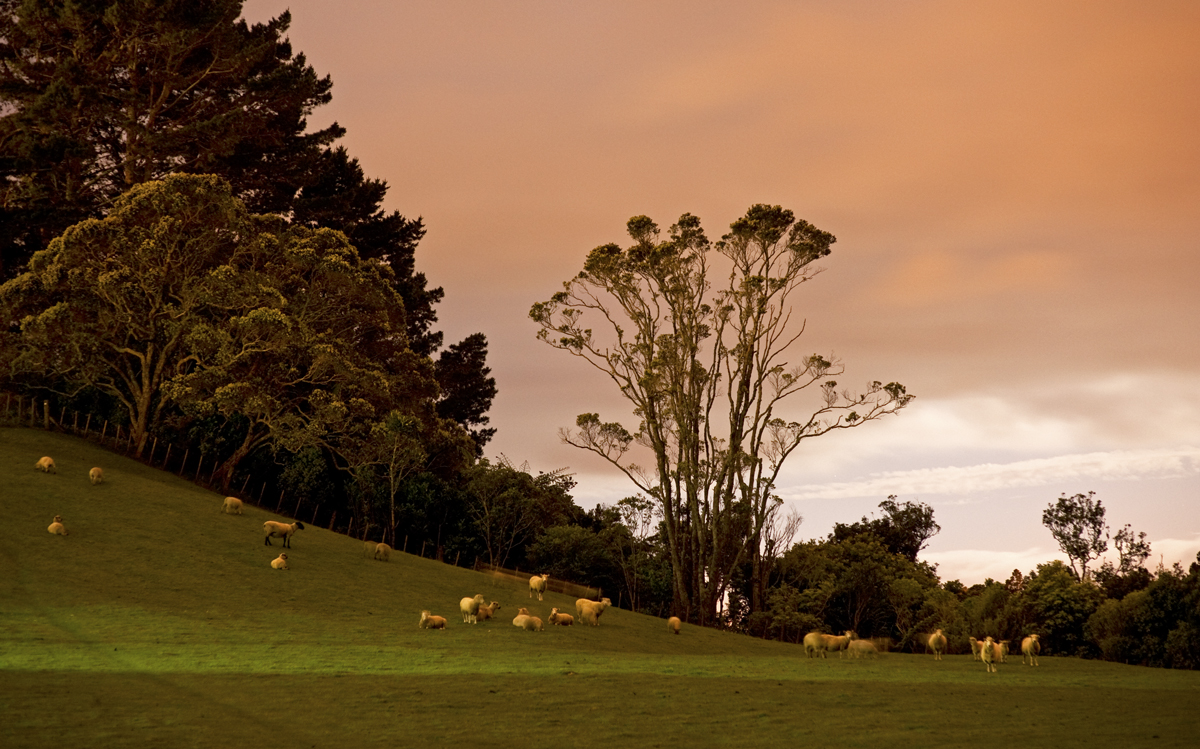 Nervous sheep in New Plymouth