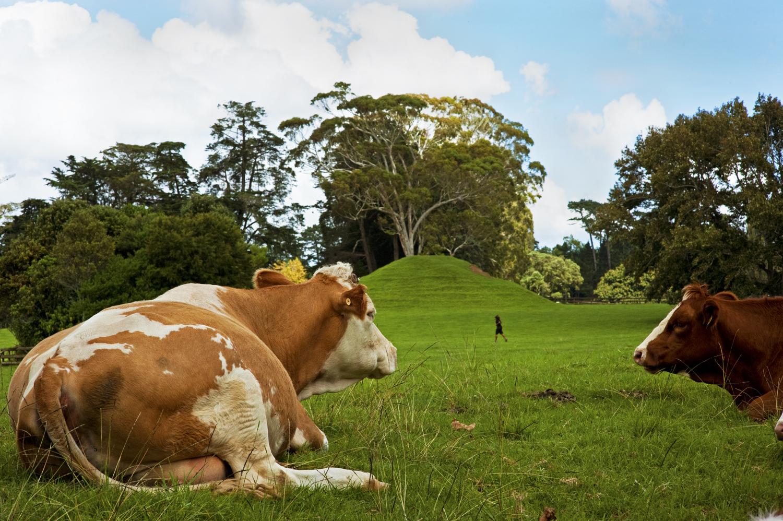 Modest Epiphanies 2: Bovine bliss